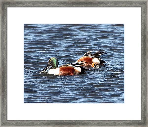 Shoveler Duck 1 Framed Print