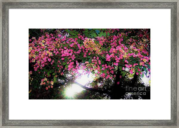 Shower Tree Flowers And Hawaii Sunset Framed Print