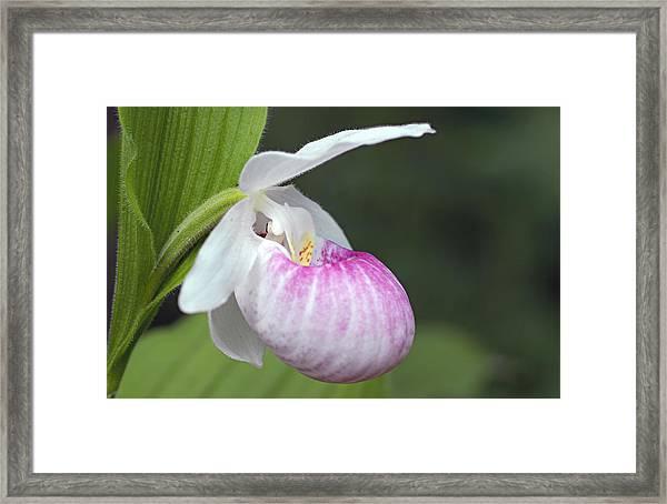Showy Ladyslipper Framed Print