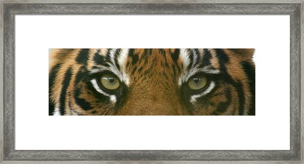 Siberian Eyes - Tiger Framed Print