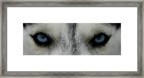 Siberian Eyes Framed Print