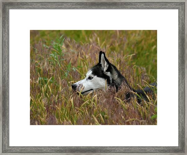 Siberian Husky 38 Framed Print