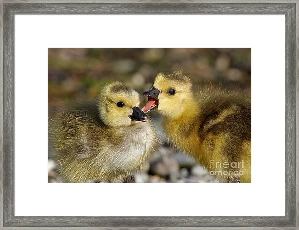 Sibling Love - Baby Canada Geese Framed Print