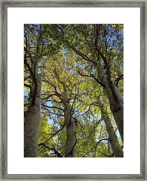 Sierra Nevada Aspen Fall Color Framed Print