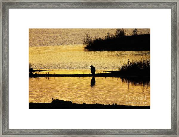 Silhouette Of A Grey Or Gray Heron - Ardea Cinerea - In Wetland We Framed Print
