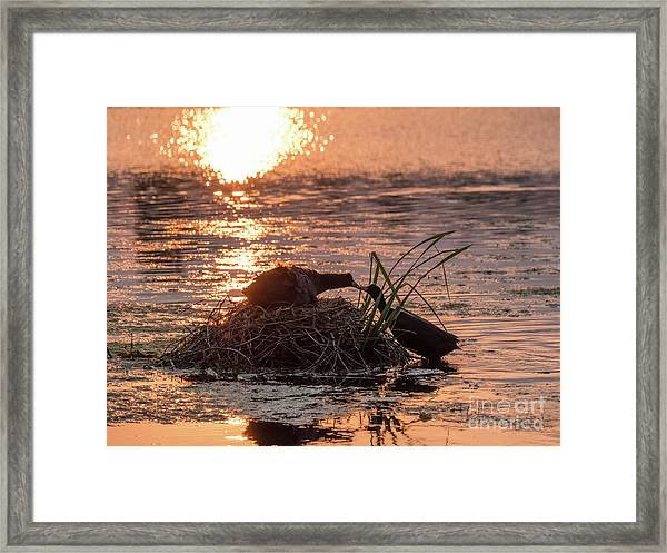 Silhouette Of Nesting Coots - Fulica Atra - At Sunset On Golden Po Framed Print