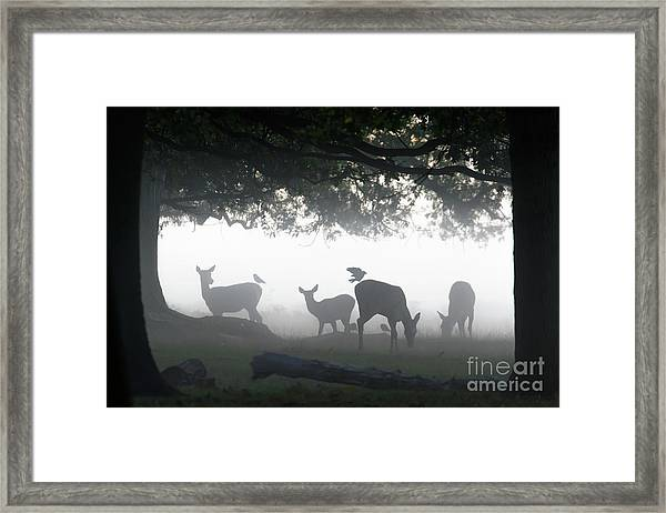 Silhouette Of Red Deer - Cervus Elaphus -  Hinds Or Females Grazin Framed Print
