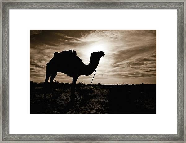 Silhouetted Camel, Sahara Desert, Douz Framed Print