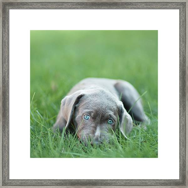 Silver Lab Puppy Framed Print