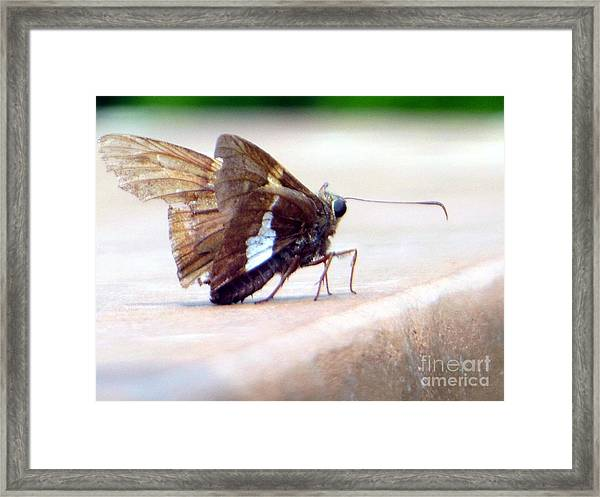 Silver Spotted Skipper Butterfly Framed Print