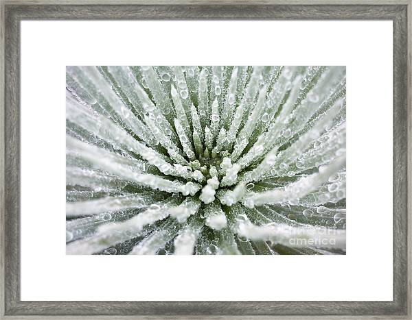 Silversword Center Framed Print