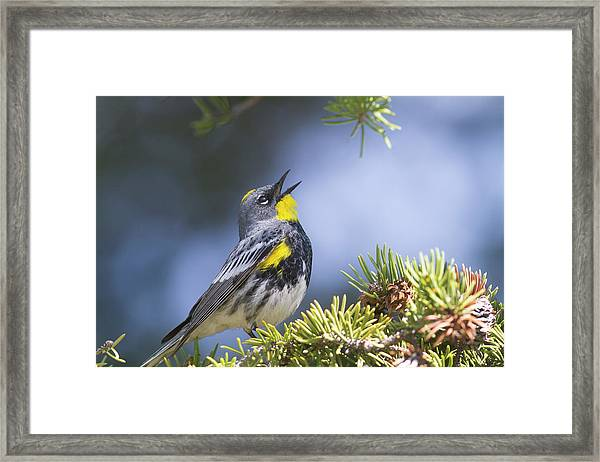 Singing Audubon's Warbler Framed Print