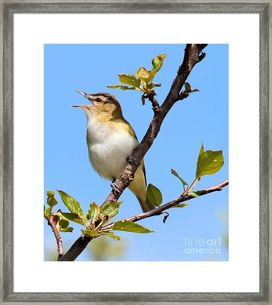 Singing Red-eyed Vireo Framed Print