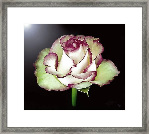 Single Beautiful Rose Framed Print