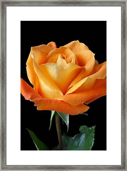 Single Orange Rose Framed Print