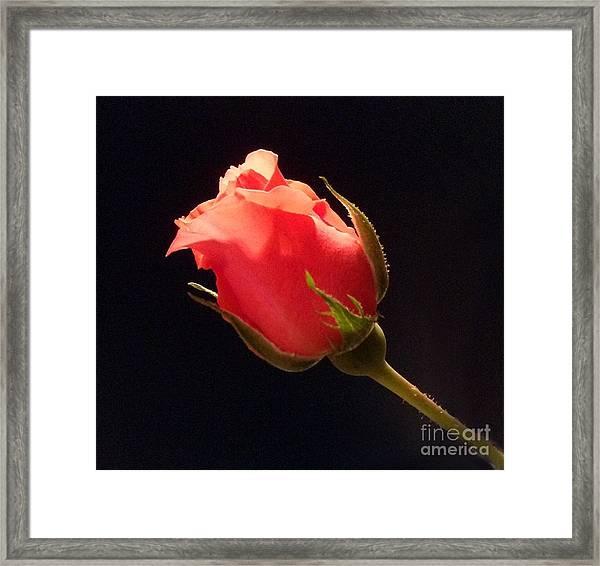 Single Pink Rose Bud Framed Print