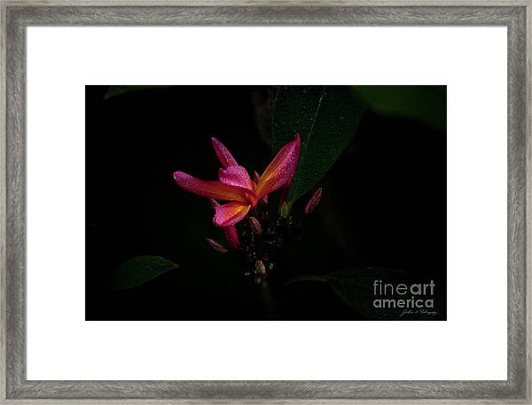 Single Red Plumeria Bloom Framed Print