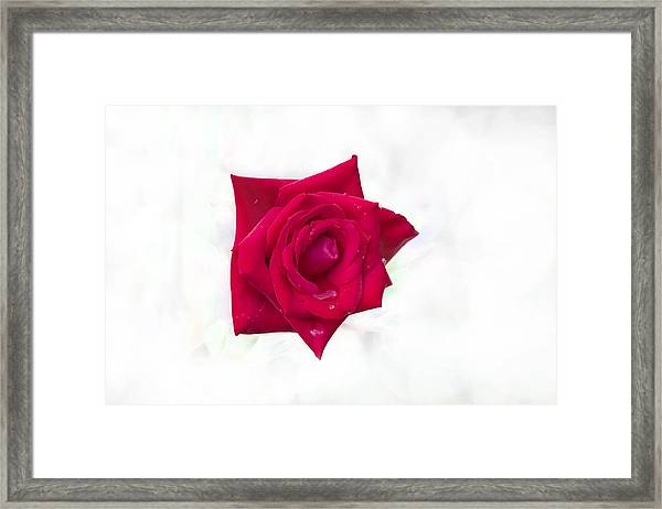 Single Red Rose Framed Print