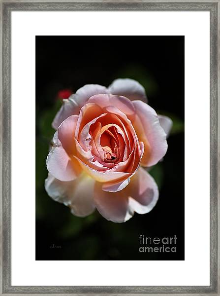 Single Romantic Rose  Framed Print