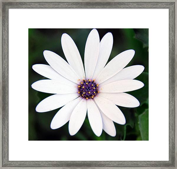 Single White Daisy Macro Framed Print