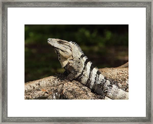 Sir Iguana Mexican Art By Kaylyn Franks Framed Print
