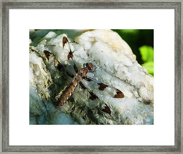 Six Spotted Dragonfly Framed Print
