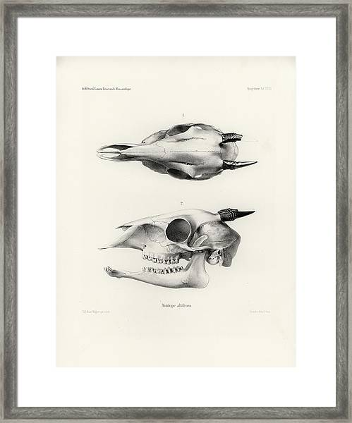 Framed Print featuring the drawing Skull Of A Bush Duiker, Sylvicapra Grimmia by J D L Franz Wagner