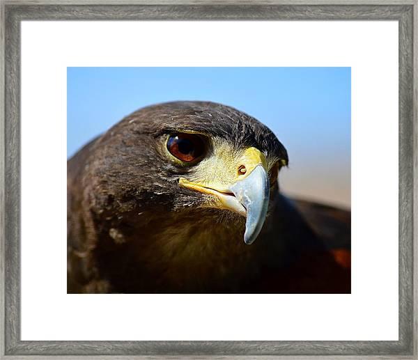 Sky Dancer - Harris Hawk Framed Print