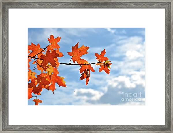 Sky View With Autumn Maple Leaves Framed Print