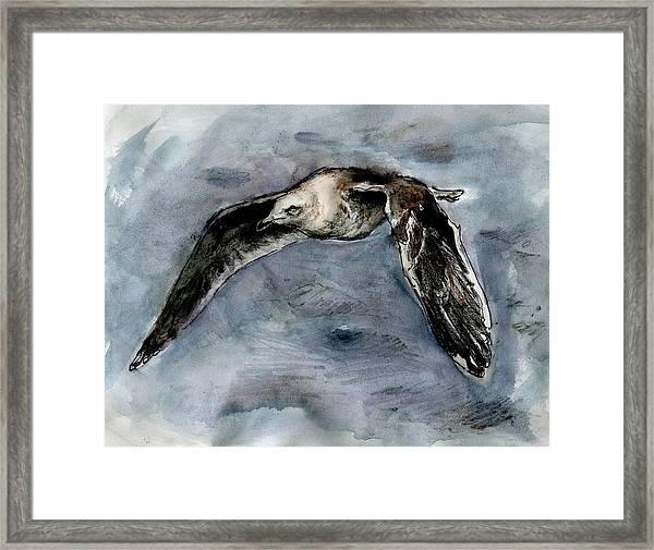 Slaty-backed Gull Framed Print
