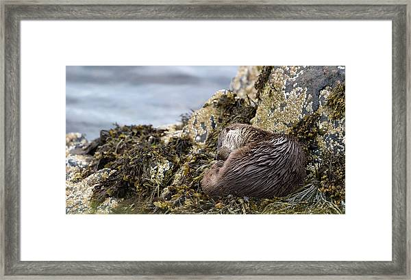 Sleeping Otter Framed Print