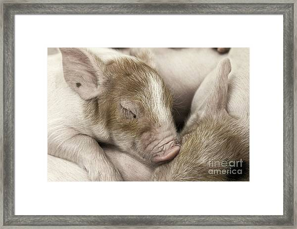 Sleeping Piglet Framed Print