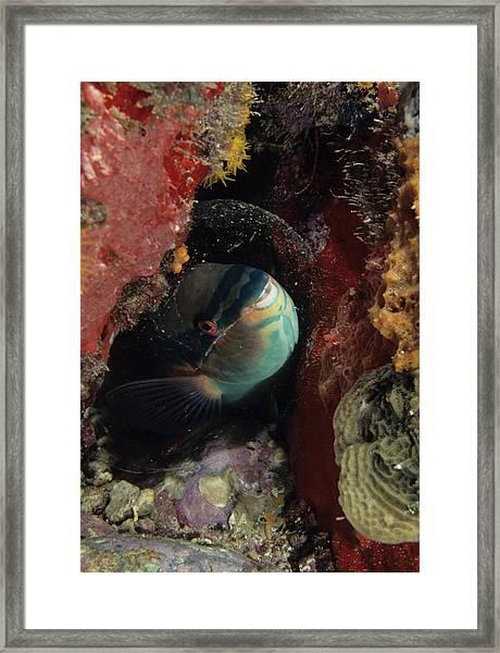 Sleeping Princess Parrotfish In Cocoon Framed Print