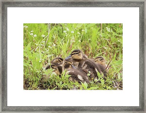 Sleepy Ducklings Framed Print