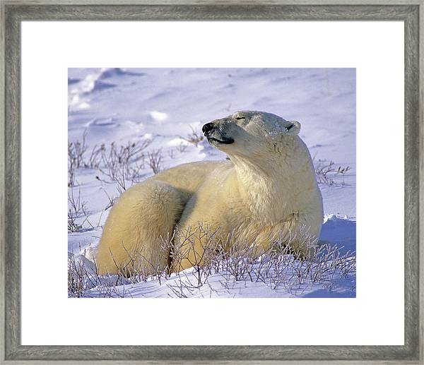 Sleepy Polar Bear Framed Print