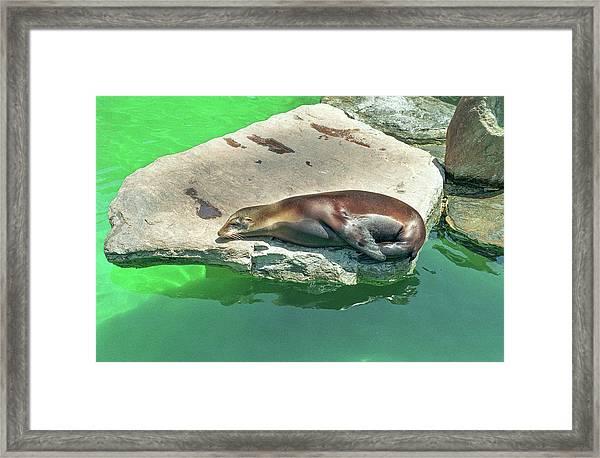 Sleepy Sea Lion Framed Print