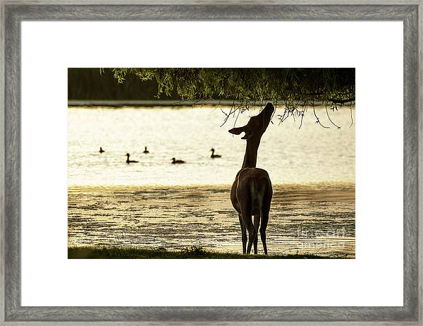 Slim Pickings  Framed Print