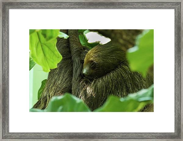 Sloth Sleeping Framed Print