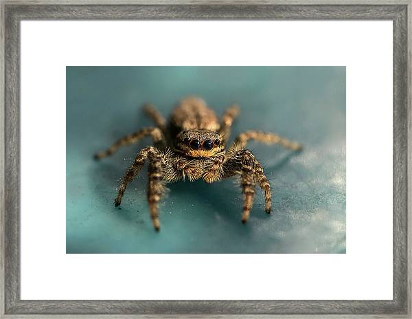 Small Jumping Spider Framed Print