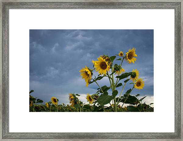 Small Sunflowers Framed Print