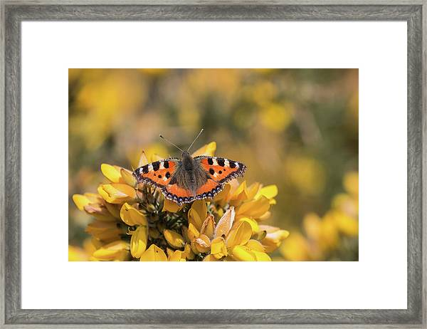 Small Tortoiseshell On Gorse Framed Print