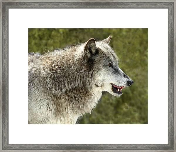 Smiling Wolf Framed Print
