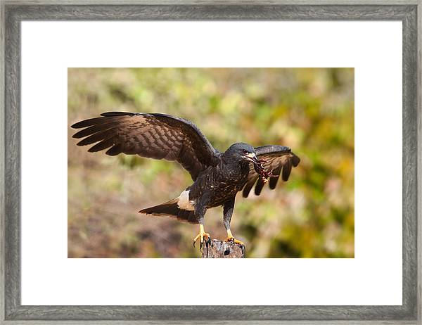 Snail Kite With Crab In Pantanal Framed Print
