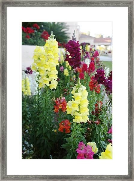 Snapdragon Flowers Framed Print