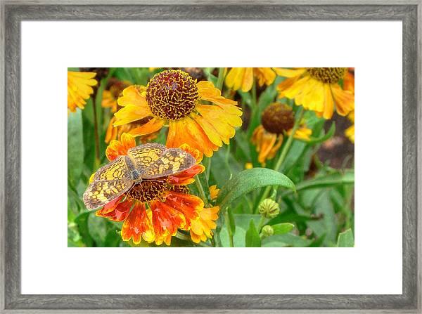 Sneezeweed Framed Print