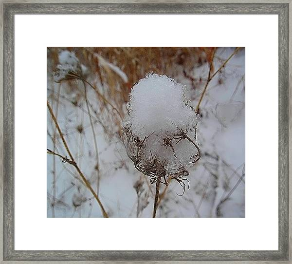 Snow Anne's Lace Framed Print