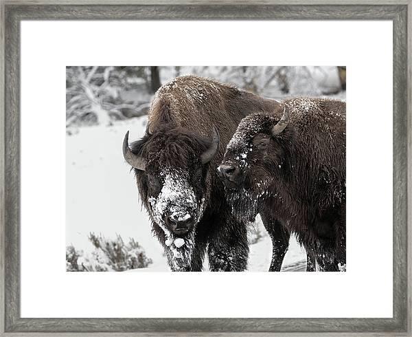 Snow Blown Framed Print