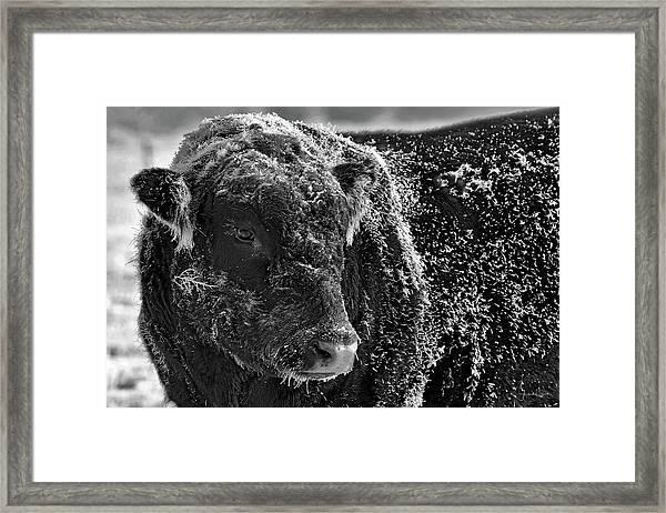 Snow Covered Ice Bull Framed Print