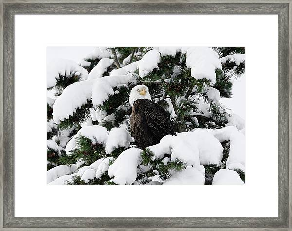 Snow Eagle Framed Print