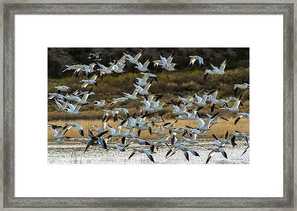 Snow Geese Flock In Flight Framed Print
